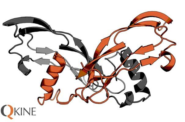 Structure of Activin