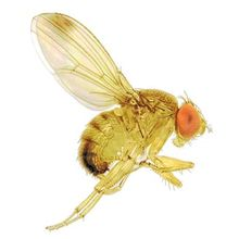 Solid Spark Drosophila fly