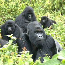 Mountain gorilla survival rates boosted by Sanger Research. Photograph: Gorilla Doctors (UC Davis)