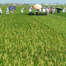An experiment in Vietnam for testing salinity tolerance rice varieties